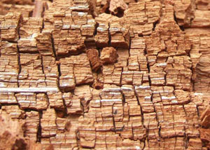 Wood severely damaged by dry rot damage in Piedmont
