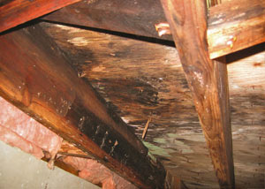 Extensive crawl space rot damage growing in Fountain Inn