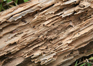 Termite-damaged wood showing rotting galleries outside of a Inman home